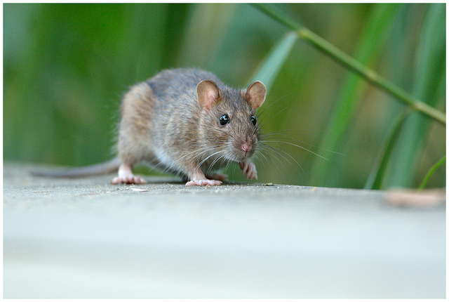 getting-rid-rodents