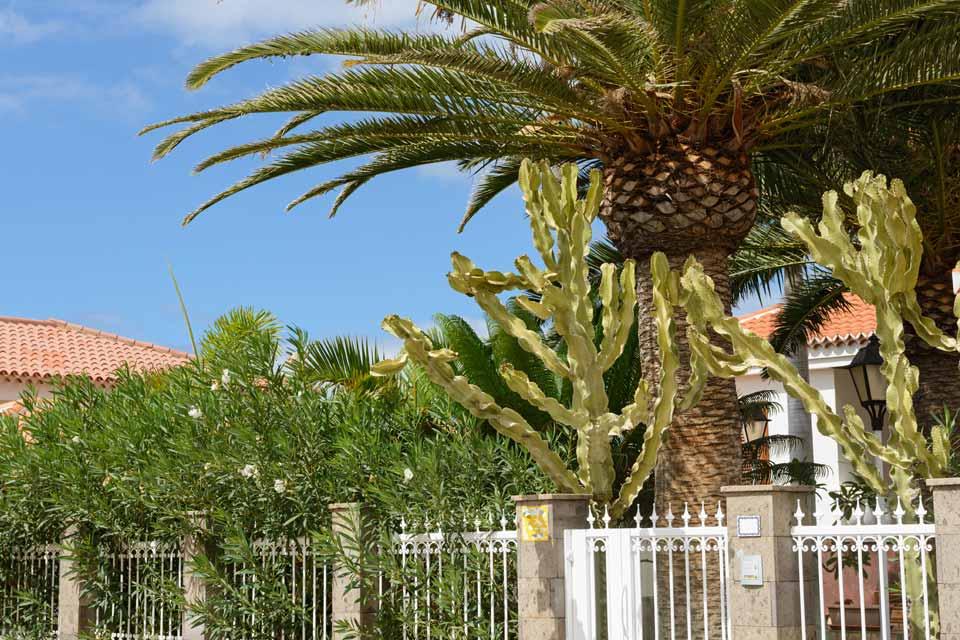 African Candelabra Tree